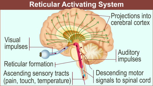Sistema Activación Reticular